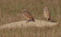 Burrowing Owls, Florida