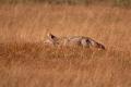 Coyote Hunt 1