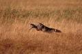 Coyote Hunt 2
