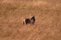 Coyote Hunt 3
