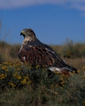 Feruginous Hawk