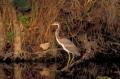 TriColor Heron, Florida